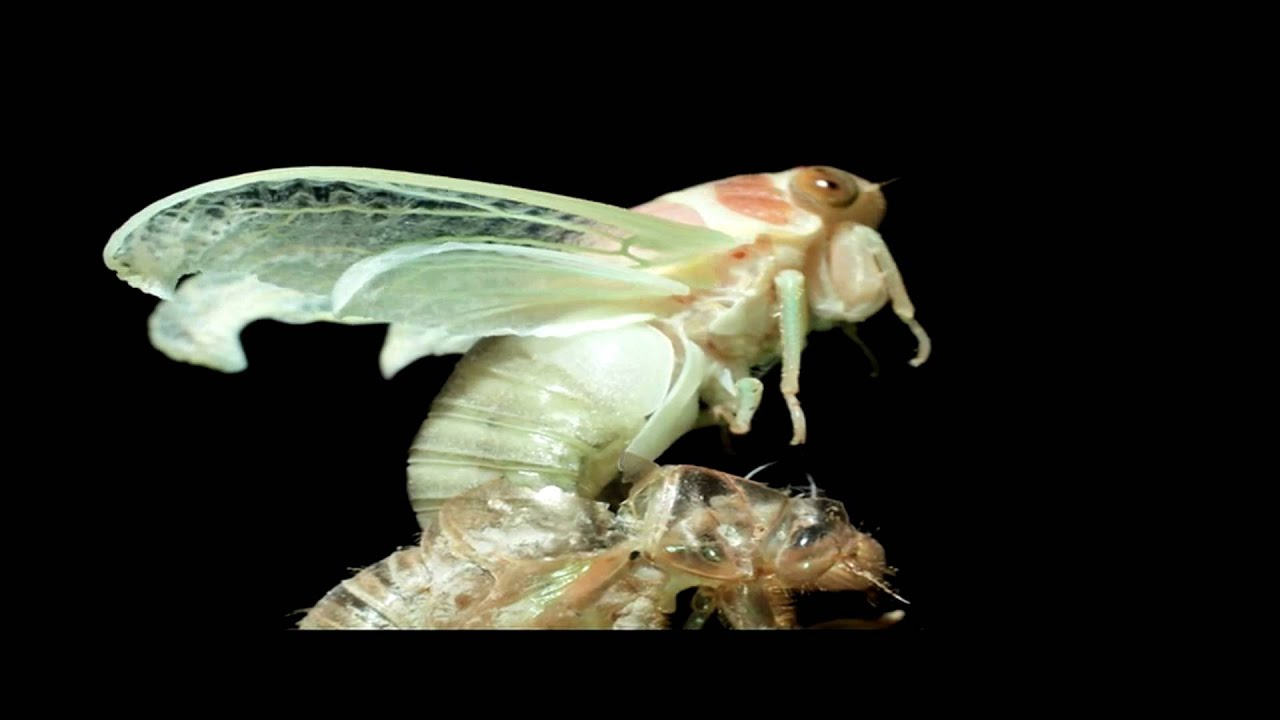 Cicada Molting Time Lapse Youtube