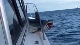 170810066 Fishermen Rescue Mako Shark