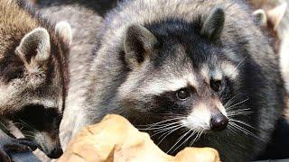 Еноты и блины. А теперь представьте их на кухне 😃 Тайган. Raccoons eat pancakes. Taigan