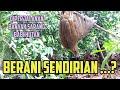 Mikat Burung Sendiri Di Hutan Banyak Sarang Babinya Jadi  Mp3 - Mp4 Download