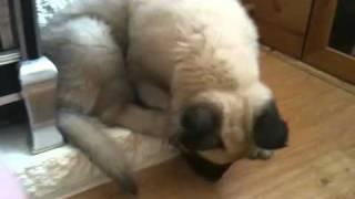 Bells - Cross Mastiff/german Shepherd