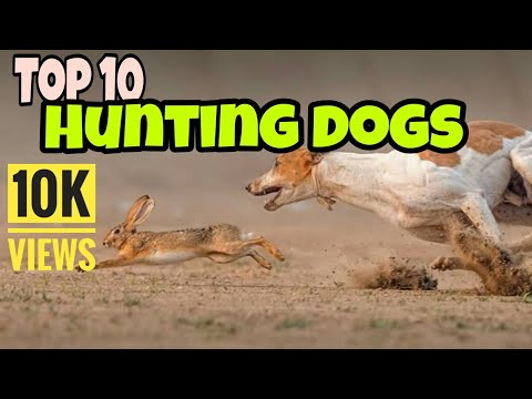 Top 10 hunting dogs breeds in the world | Top 10 dogs