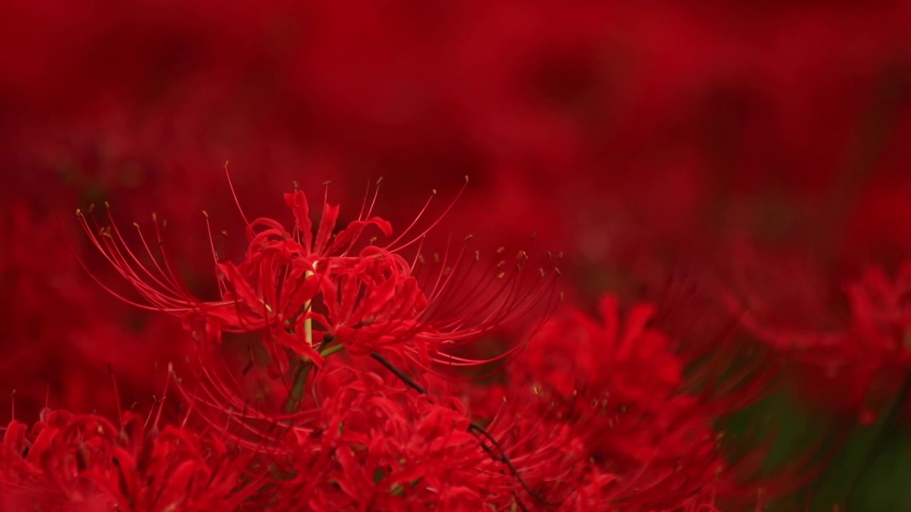 Kinchakuda one ofjapans biggest red spider lily fields youtube saitama short izmirmasajfo