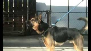 Best Guard Dog German Shepherd Security Alarm Attack