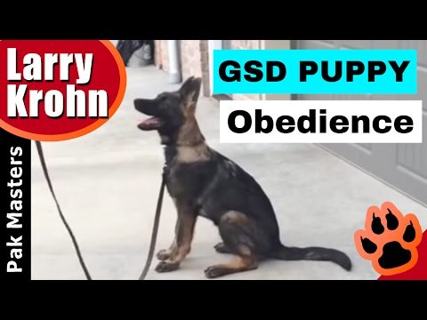 German Shepherd Puppy Obedience with Halo and Pak Masters Dog Training