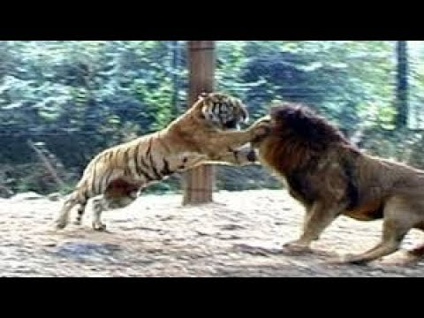 Wild Animal Attacks 2 Lions vs Tigers thumbnail