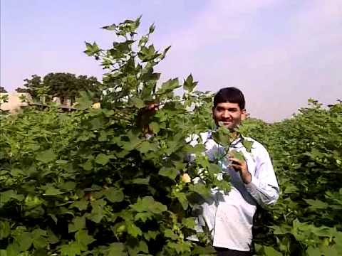 Organic Cotton without chemical fertilizers- Plantonics Gujarat Bio Organics Pvt.Ltd.