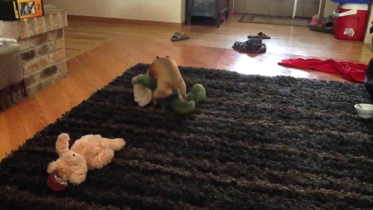 Chihuahua Humping Stuffed Animal Youtube