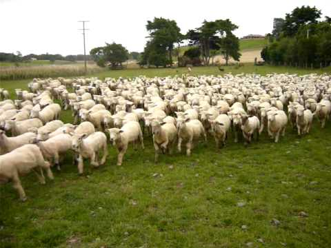 herd of sheep youtube