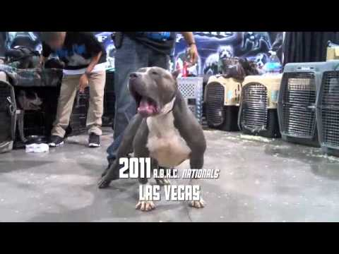 THE BIGGEST XL PITBULLS IN THE WORLD 2011 A.B.K.C. AMERICAN BULLY NATIONALS BLUELINE