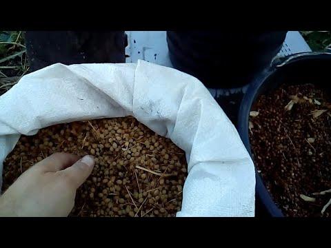Как посадить липу из семян в домашних условиях