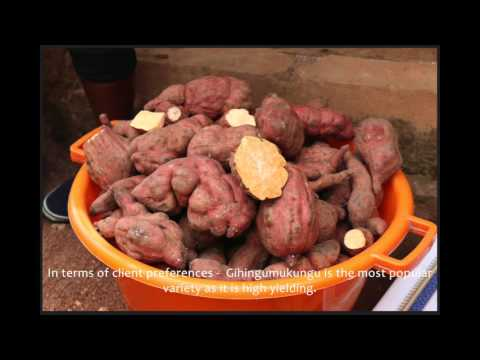 Scaling up sweetpotato through agriculture and nutrition with an OFSP farmer in Rwanda