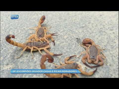 Invasão de escorpiões assusta moradores em Taboão da Serra (SP)