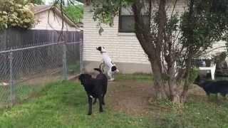 Marley! German Shorthaired Pointer Jumping Fence
