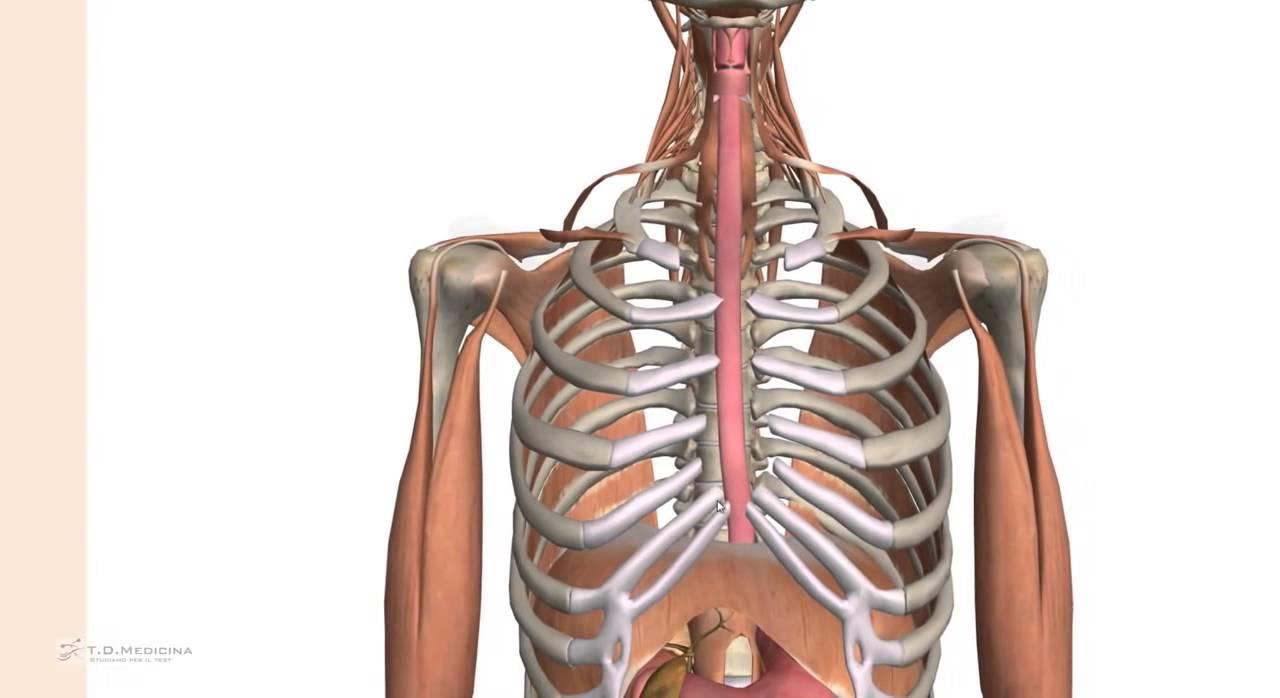 5.13.1 - Esofago, anatomia riassunto pricipali caratteristiche ...