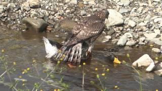 野鳥:オオタカ 若/アヒルを襲う-2 thumbnail
