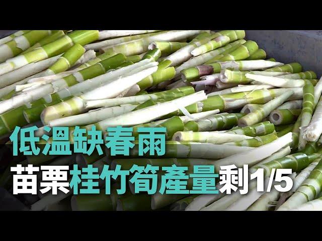 低溫缺春雨 苗栗桂竹筍產量剩1/5【央廣新聞】