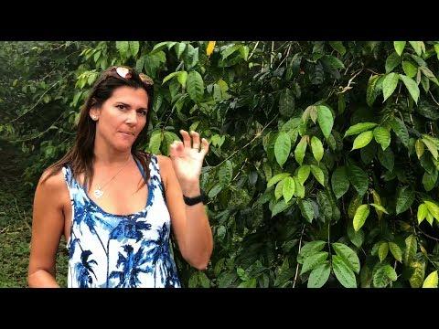 Mountain Thunder Organic Kona Coffee Farm Tour Hawaii Big Island Cloud Forrest VLOG 2