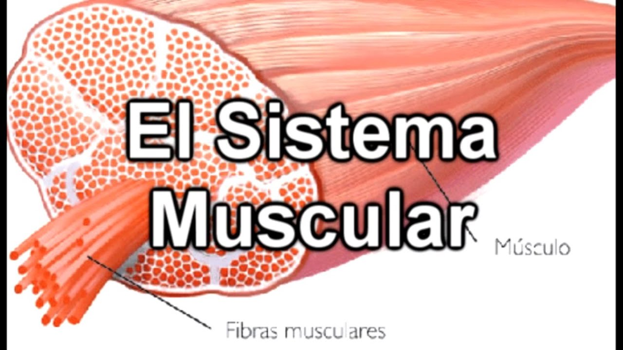 El Sistema Muscular - Documental de Biología - YouTube