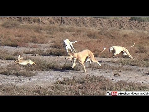 Three Dogs Vs Rabbit Race 2019 | Hunting Animals | Shikar In Jungle