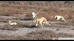 three dogs vs rabbit race 2019 | hunting animals | shikar in jungle