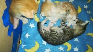 котятам 3 недели, они веселы и беззаботны