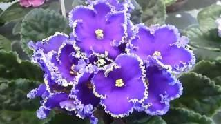 Футажи. Фиалки 4. Красивые цветы. Скачать бесплатно.