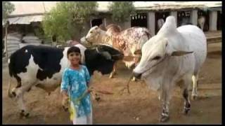 Rehman Cattle Farm Bull Babban For 2011