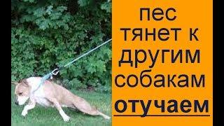 пес тянет  тянет к другим собакам отучаем