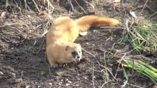 ほ乳類:チョウセンイタチ/Mammals: Siberian Wheasel
