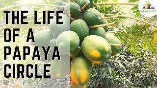 Papaya Circle - Do you have one in your garden?