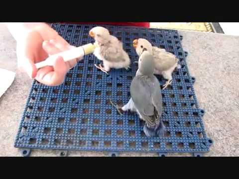 Memberi Makan Anak Lovebird Youtube