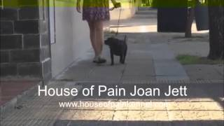 Staffordshire Bull Terrier :: House Of Pain Kennel Joan Jett