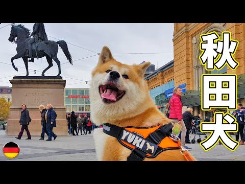AKITA INU - JAPANESE DOG IS EXPLORING THE CITY OF HANNOVER | SIGHTSEEING WITH YUKI (秋田犬)