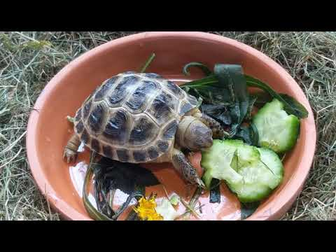 Можно ли замораживать одуванчики и сорняки для черепашки?
