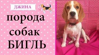 ВСЕ О ПОРОДЕ БИГЛЬ /// БИГЛЬ ДЖИНА