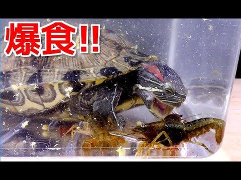 腹ペコの亀が大量のザリガニをバリバリと食い尽くす!