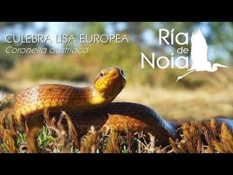 Culebra lisa europea amarilla / Cobra lagarteira (Coronella austriaca) amarilla. Ría de Noia