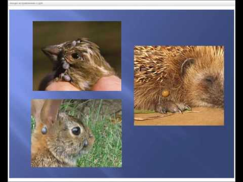 Что делать, если укусил клещ: пошаговая фото и видео