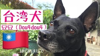 我が家で飼っている台湾犬、豆豆(ドゥドゥ)の動画をUP!台湾で暮らす...