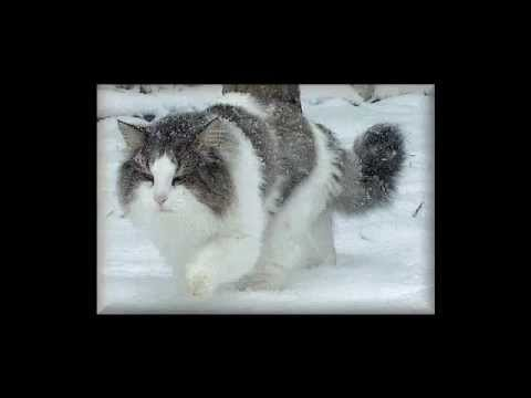 Amy's Animal Facts: Norwegian Forest Cats