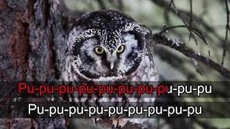 Lintukaraoke: Helmipöllö