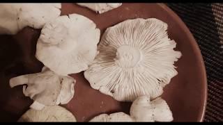 Рядовка белая. Как распознать. Съедобные грибы.