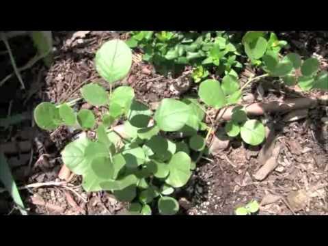 Licorice Plant Youtube