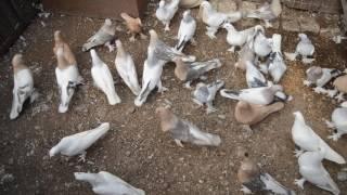 Турецкие голуби Такла (первая голубятня)(Всю информацию найдете здесь: ОК: https://ok.ru/profile/561036587733 тел: +79276365966., 2016-09-05T09:54:54.000Z)