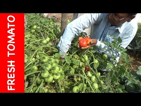 Grow TOMATO in courtyard || Fresh vegetables (with English Subtitle)