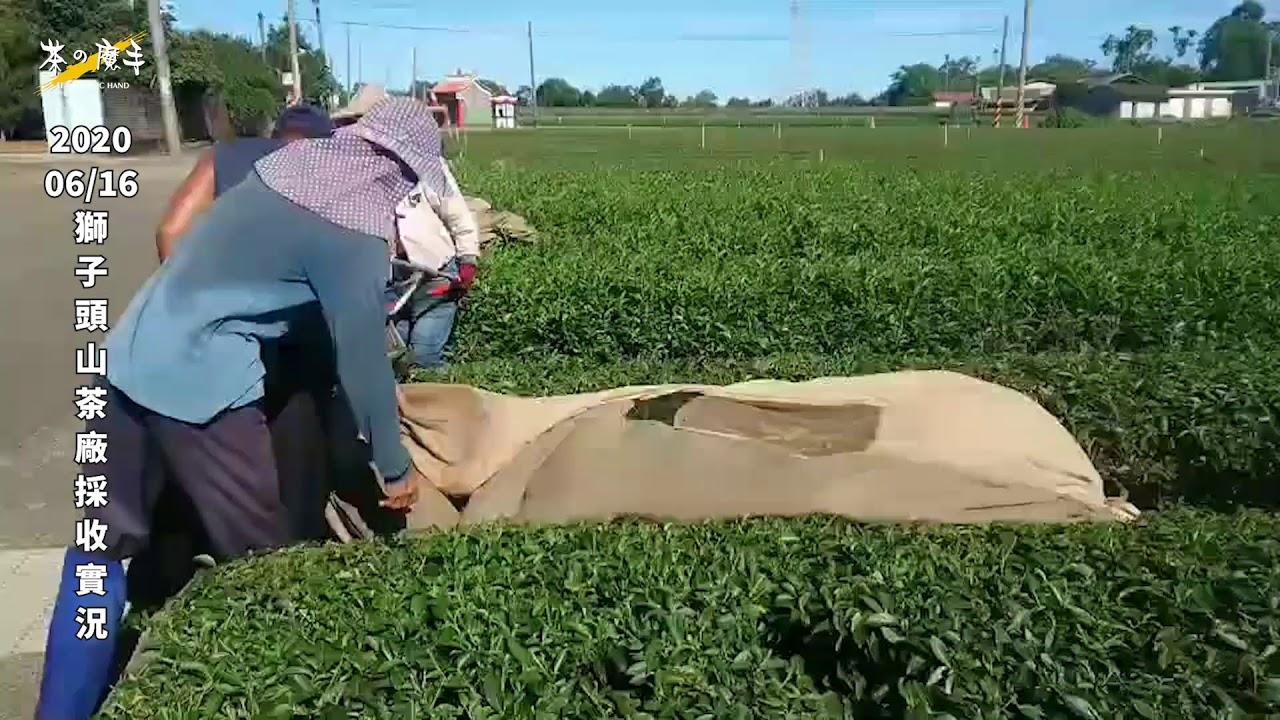 《茶の魔手》獅子頭山茶廠-1090616現採茶菁記實