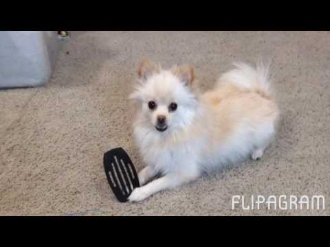 Pomeranian Fun Fluffy Photos