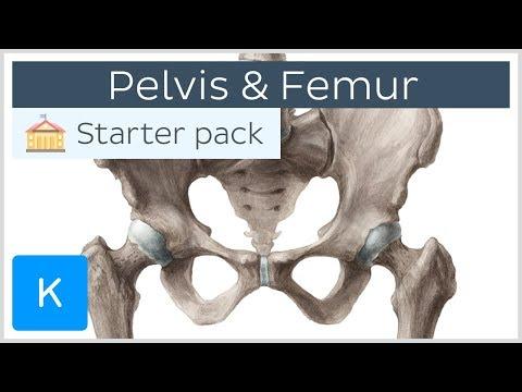 Pelvis (Hip Bone) And Femur - Human Anatomy  Kenhub