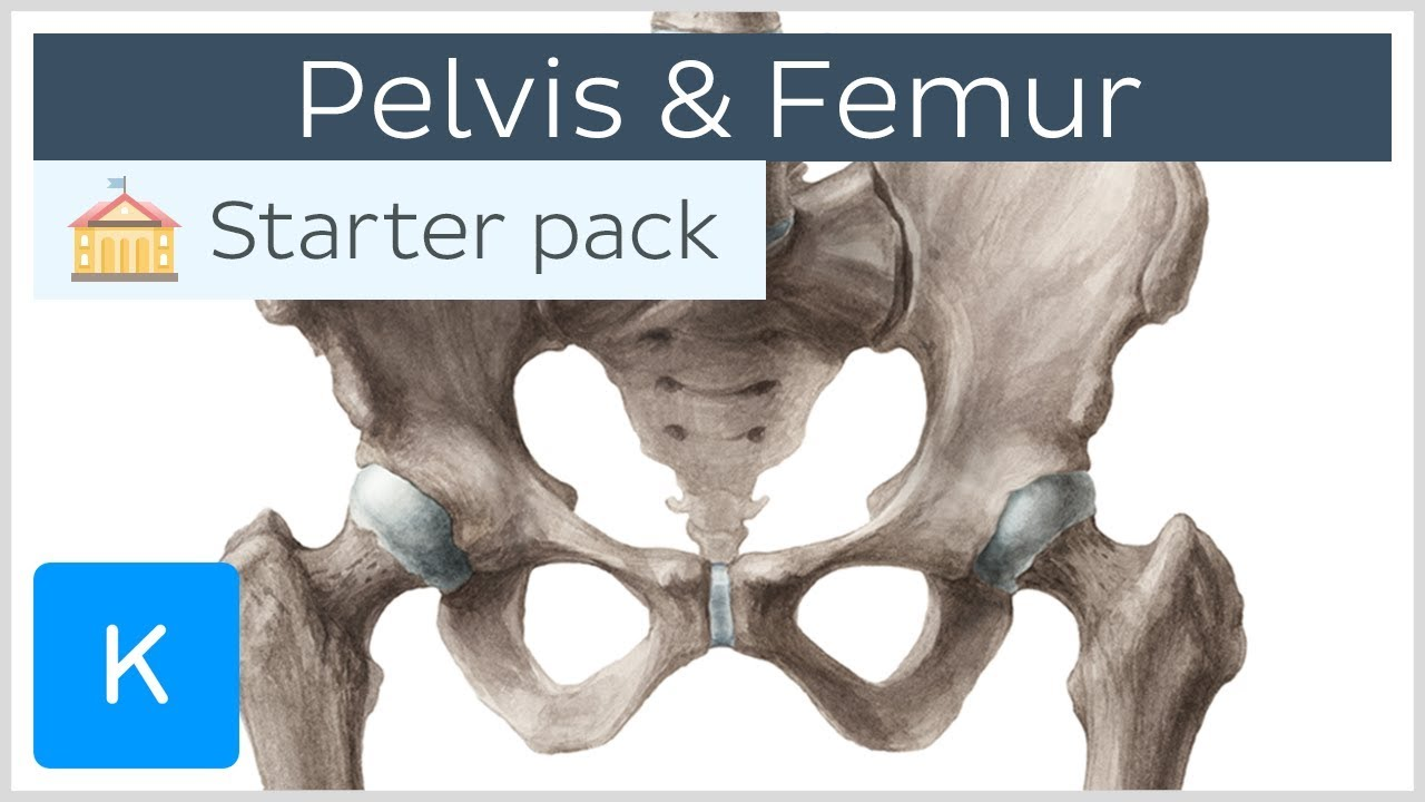 Pelvis  Hip Bone  And Femur - Human Anatomy